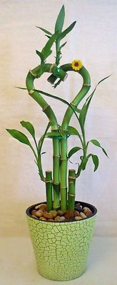 Lucky Bamboo Heart Arrangement in Green Faux Vase. Makes a great gift!