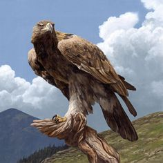 Golden Eagle - Aquila chrysaetos; This powerful eagle is North America's largest bird of prey and the national bird of Mexico. They are extremely swift, and can dive upon their quarry at speeds of...
