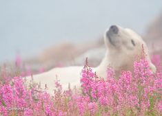 While staying at lodges run by Churchill Wild in Manitoba, Canada, wildlife and nature photographer Dennis Fast captured these incredible shots of polar bears frolicking in fields of fireweed. Beautiful Creatures, Animals Beautiful, Cute Animals, Save The Arctic, Love Bear, Spirit Animal, Champs, Animal Kingdom, Pet Birds