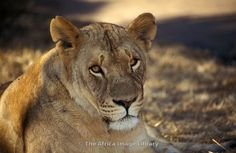 Photos and pictures of: Lion, Panthera leo, Lion & Cheetah Park, near Harare, Zimbabwe - The Africa Image Library Leo Lion, Zimbabwe, Cheetah, Followers, Photos, Pictures, Africa, Game, Animales