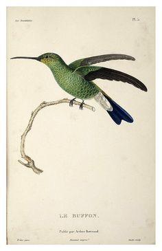 Les Trochilidées ou les Colibris et les Oiseaux-Mouches I 1832 I René Primevère Lesson
