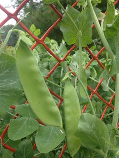 Snap peas from our garden to you our guest...