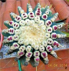 100 Particles / lot Mini Succulents Seed Office Desk Bonsai Seeds Absorb Radiation Lithops Flower Seeds Garden Pots Planters