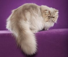 GP Lilac McTabby Persian