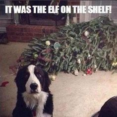 Dog Shaming Christmas Tree Fainted - Friday Frivolity - Holiday Cheer, One Way or Another - Christmas Memes + LINKY for all things Fun, Funny, Happy & Hopeful! Funny Animal Pictures, Funny Animals, Cute Animals, Animal Pics, Animals Dog, Puppy Pictures, Animal Quotes, Dog Quotes, Animal Humor