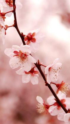 Cherry Blossom iPhone HD Wallpaper   PixelsTalk.Net