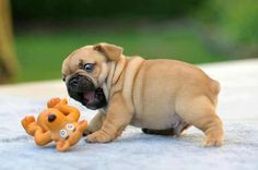 Ermahgerd Mer Ter! This adorable puppy is so excited to see his toy he can't contain himself.