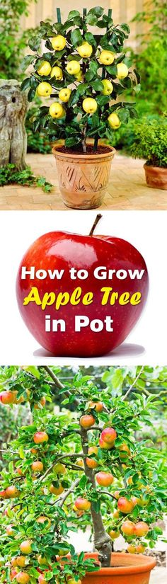How To Grow An Apple Tree In A Pot