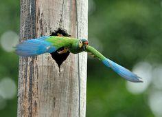 Foto maracanã-verdadeira (Primolius maracana) por Luiz Ribenboim | Wiki Aves - A Enciclopédia das Aves do Brasil