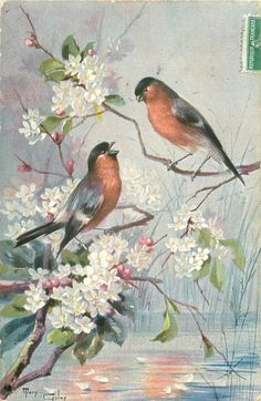 two bullfinches, white blossom over water