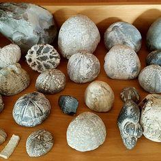 En lille bid af min #samling af #søpindsvin  A small selection of my #collection of #seaurchin  #natur #nature #fossil #forstening #danmark #denmark #seeigel