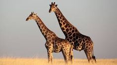 The world's tallest land animal, giraffes are one of the most unique species on Earth. Find out more with our giraffe fact file. Giraffe Facts For Kids, Fun Facts About Giraffes, Group Of Giraffes, Masai Giraffe, Giraffe Neck, Giraffe Images, Unusual Facts, Animals