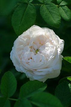 Centifolia/ Hybrid Gallica Rose: Rosa 'Blanche Fleur' (France, 1835)