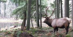 Roosevelt Elk. I think they shed antlers yearly (?), so that is why the males' antlers weren't too impressive yet.