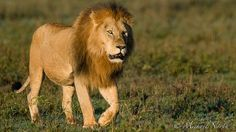 """Lion #6"" - photo by Michael North, via Flickr"