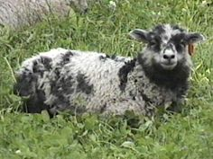 Shetland sheep are fine boned and small in size. Rams weigh 90–125 pounds, and ewes weigh 75–100 pounds. Most rams have spiraled horns, while most ewes are polled. Shetland sheep are calm and charming in disposition, docile, and intelligent. The Shetland breed is especially prized for its wool, which is fine, soft, and strong.