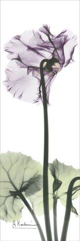 Cyclamen in Purple Print by Albert Koetsier at Art.com $17.99