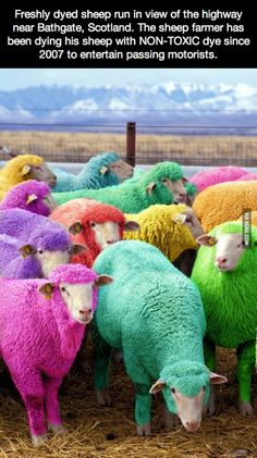 Freshly dyed sheep run in view of the highway near Bathgate, Scotland.