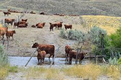 Cattle damage critical riparian habitats throughout the western U. S…  Perhaps this suit will prompt BLM to correct practices on the millions of acres of public rangeland that it manages.