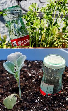 """Clever reuse idea: glass bottle watering """"globes"""". These are particularly helpful when starting plants or if you're going on a short vacay."""