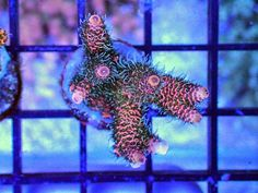 Mille A1 #coral #reef #tank http://www.fragcave.com/mille-a1/