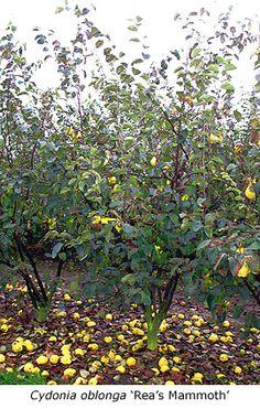 Cydonia oblonga -kweepeer, lage boom,inheems,fruit,bijen