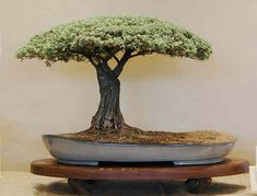 The 2009 BCI Award Winner in the Art of Bonsai Awards.    Louis Nel - South Africa  Buddleja (Buddleja saligna.)  Height: 19 in, 48 cm  Pot: L Le Grange (South Africa)  Categories: Broadleaf    I love the canopy. Looks like the perfect place for a nap.