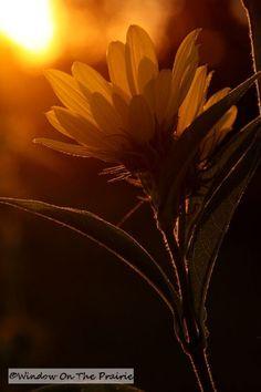 Maximilian Sunflowers at sunset....