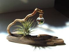 Driftwood Live Marimo Moss Ball with Maneki Neko Lucky Cat Air Plant Ecosphere Terrarium #5  This very unique desktop terrarium features one tiny micro ecosphere glass orb suspended from an assembled wild collected driftwood base.No two of these will ever be the same.This one has a beautiful weathered base adorned with shells,sea glass,and airplant (all removable).For extra luck a tiny 1 Cast Stone Tyber Katz Maneki Neko Lucky Cat is perched on the base.Inside the 1 glass orb resides 1 tiny…