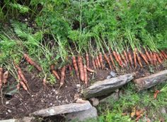 Visit a root cellar! Learn store vegetables all winter long from Celeste on The Old Farmer's Almanac Web site.