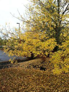 Foliage in Concord, New Hampshire on 10/1, courtesy Tai Freligh.