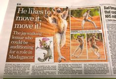 My Sifaka images made the Sunday DailyMail UK yesterday. Great to see they also mentioned about the threats wildlife of Madagascar is facing such as deforestation.  #lemur #sifaka #madagascar #africa #wildlifephotography #shannonwild #dailymail #wildlife #wild #conservation