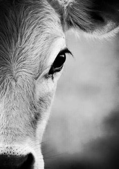 are you a cow? or a nurse cow? Farm Animals, Animals And Pets, Cute Animals, Wild Animals, Beautiful Creatures, Animals Beautiful, Beautiful Eyes, Beautiful Eyelashes, Hey Gorgeous