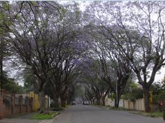 Jacaranda time in Kensington. - I love this time of the year, with the street floors covered in purple and the trees blooming endlessly Time Of The Year, Childhood Memories, Places Ive Been, South Africa, Floors, Cities, Trees, African, Purple