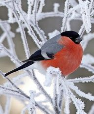 Bullfinch on a frosty branch.love chubby little birds! Kinds Of Birds, All Birds, Cute Birds, Pretty Birds, Little Birds, Beautiful Birds, Animals Beautiful, Hirsch Illustration, Bullfinch