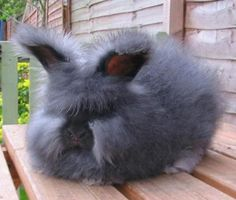 Okay, not a Persian but an equally adorable angora rabbit