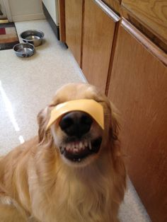 I am sorry but I love doing this to my dog. She waits until I say go then she flips her head and grabs the cheese in mid-air!