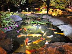 Fishes swimming in the night outdoor pond lighting ideas fish underwater pond lighting mozeypictures Images