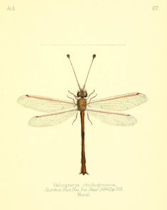 "Dragonflies from ""Aid to the identification of insects"" by Charles Owen Waterhouse, V. 1, 1880-90. London. Via Biodiversity Heritage Library."