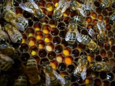 Abejas sobre polen