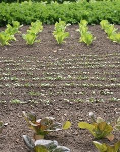 Natural Pesticides for Vegetable Garden