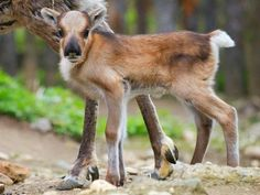 Christmas in May!  Adorable baby reindeer born at Prague's Zoo Praha.