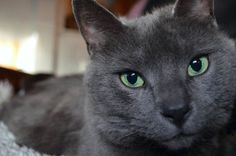 Or this feline, whose emerald orbs perfectly complement her grey fur. | 21…