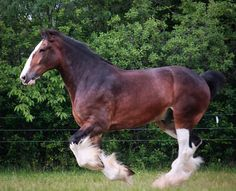 One day, I will own a Clydesdale! Big Horses, Types Of Horses, Work Horses, Horse Love, Show Horses, All The Pretty Horses, Beautiful Horses, Animals Beautiful, Barrel Racing Saddles
