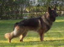 http://www.examiner.com/german-shepherd-in-akron/the-german-shepherd-dog-a-comparison-of-hip-elbow-evaluations    A comparison of OFA, 'a' stamp and PennHip.  The different hip/elbow evaluations and certifications available for breeders to use with their German Shepherd Dogs.