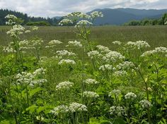 Cow Parsnip - Lower part of plant is used as salt substitute. Tender leaves and flower stalks can be eaten as vegetable, have a sweet flavor. Roots can be cooked like rutabaga. Don't confuse with poisonous Hemlock or Cowbane. Wild Garden: Hansen's Northwest Native Plant Database