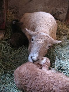 Mother and child- Daisy before retirement. ©Katherine Dunn / Apifera Farm http://www.katherinedunn.us