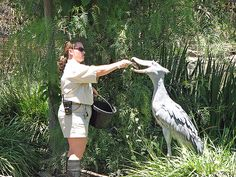 The shoebill, also called a shoe-billed stork or whale-head, is an african bird that has a height range of 110 to 140 cm. Shoebill feeding | Flickr