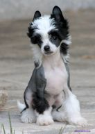Chinese Crested Dog - Registry