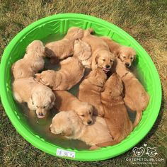 From @thegolden_finn: All 12 of Finns baby nugget brothers and sisters  #cutepetclub [source: http://ift.tt/2f6HO7o ]